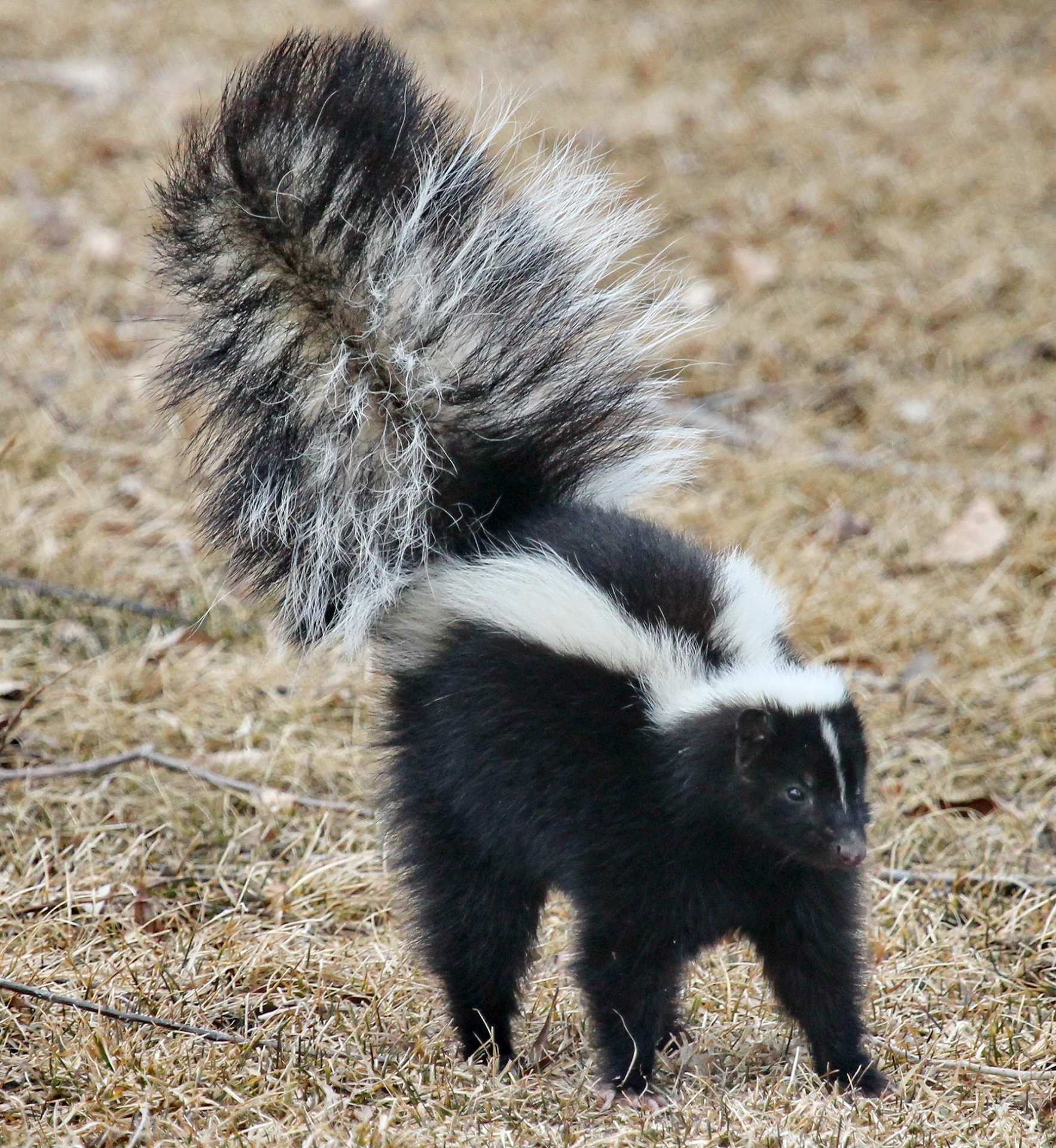 Remove Skunk Smell,
